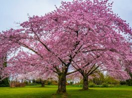 This image shows the wonderful cherry blossom tree and how beautiful it look in the right weather!