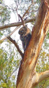 Koalas and Penguins
